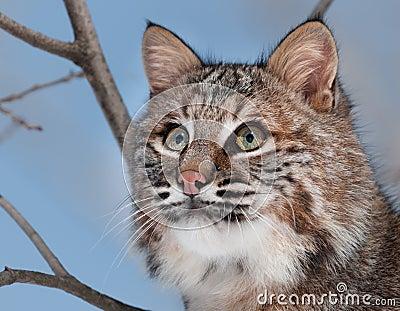 Bobcat (Lynx rufus) Portrait