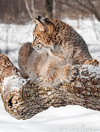 Bobcat (Lynx rufus) Sits on Branch in Profile