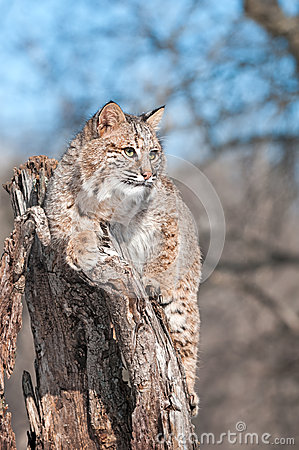 Bobcat (Lynx rufus) Sits on Stump with Copy Space