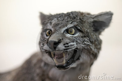 Bobcat (Lynx rufus) snarling