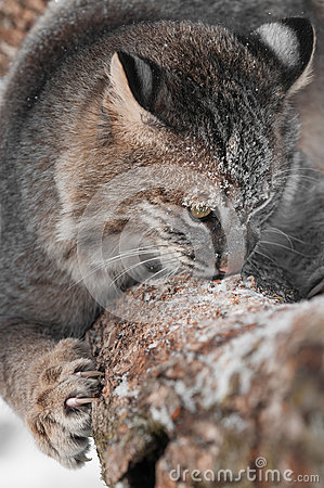 Bobcat (Lynx rufus) Sniffs and Claws at Branch