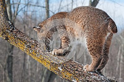Bobcat (Lynx rufus) Sniffs at Tree Branch