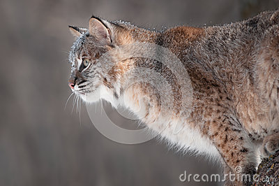 Bobcat (Lynx rufus) with Snow on His Face
