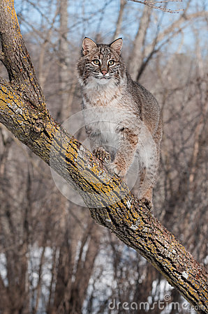 Bobcat (Lynx rufus) Stands on Branch in Tree