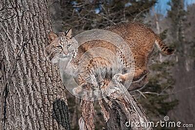 Bobcat (Lynx rufus) Stands on Stump