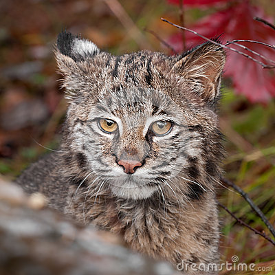 Bobcat (Lynx rufus) Stare