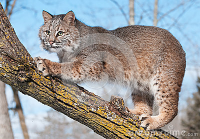 Bobcat (Lynx rufus) in Tree Clawing Branch