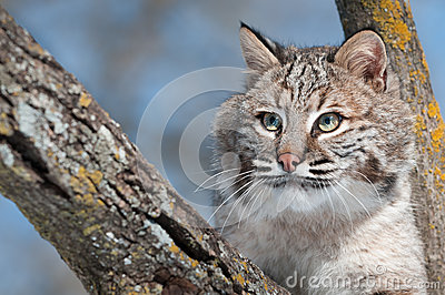 Bobcat (Lynx rufus) in Tree with Copy Space Left