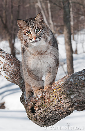 Bobcat (Lynx rufus) Walks Forward on Tree Branch