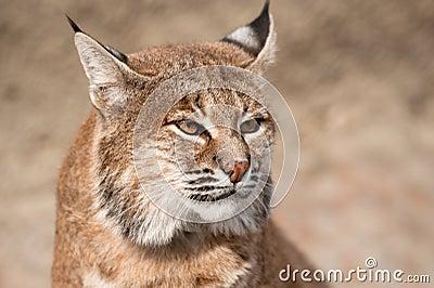 Bobcat - (lynxrufus)