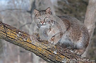 Bobcat (Lynxrufus) Crouches op Tak die Linker kijken
