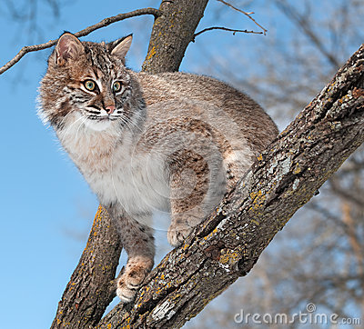Bobcat (Lynxrufus) kijkt van Boomtak