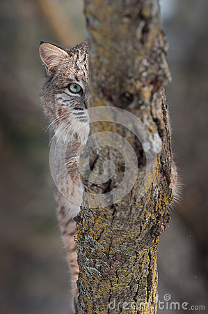 Bobcat (Lynxrufus) Oog achter Tak