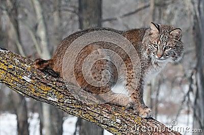 Bobcat (Lynxrufus) zit op Tak