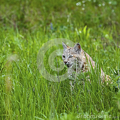 Bobcat in the mountains