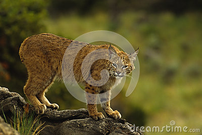 Bobcat op Logboek