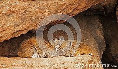 Bobcat Pair