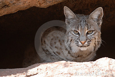 Bobcat popping out of Cave