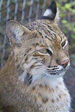 Bobcat portrait - Lynx rufus