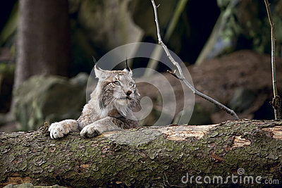 Bobcat resting on the wood