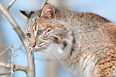 Bobcat (rufus λυγξ) στο δέντρο - κεφάλι