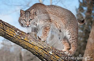 Το Bobcat (rufus λυγξ) κοιτάζει επίμονα στο θεατή από τον κλάδο δέντρων