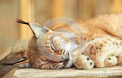 Bobcat sleeping