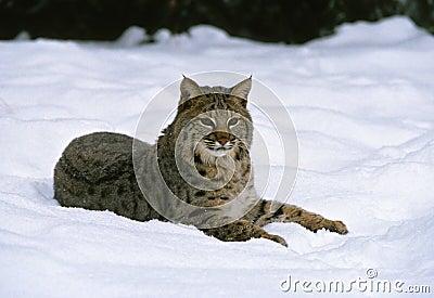 Bobcat in Snow