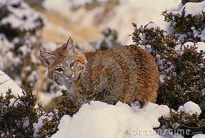 Bobcat on Snow Covered Cedar