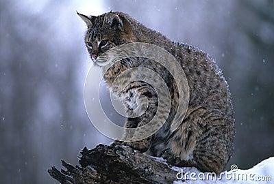 Bobcat in Snowstorm