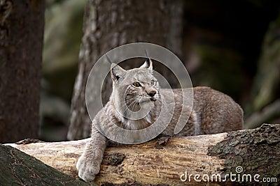 Bobcat som vilar på trät