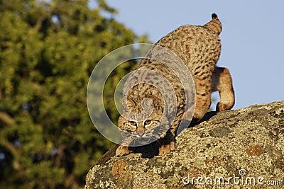Bobcat Springing from Boulder