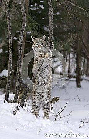 Bobcat stretching
