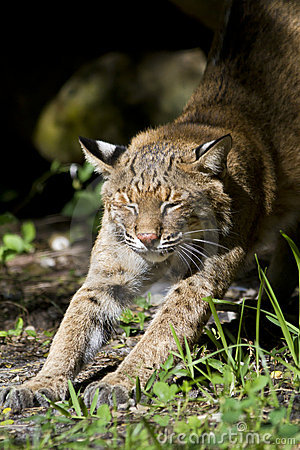 Bobcat stretching