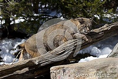 Bobcat VI