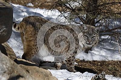 Bobcat VII