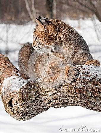Bobcaten (lodjurrufus) sitter på Branch profilerar in