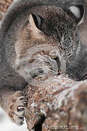 Bobcaten (lodjurrufus) sniffar och klöser på filialen