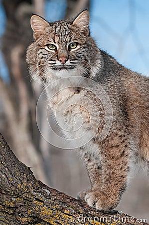Bobcaten (lodjurrufus) stirrar från Tree
