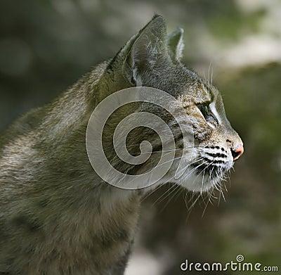Bobcatstående