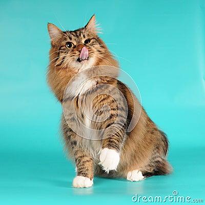 Bobtail cat licks itself portrait