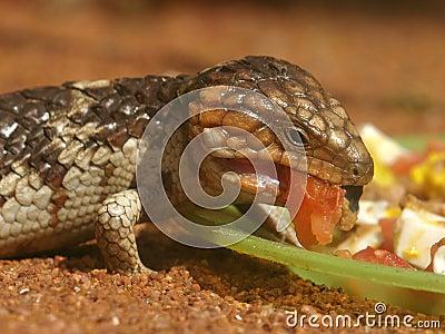 Bobtail Lizard Eating Lunch