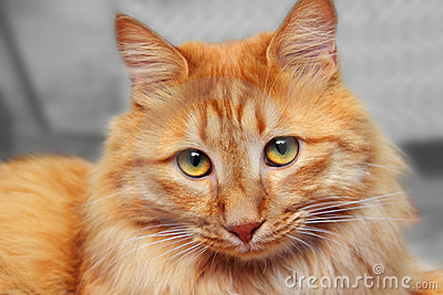 Bobtail red cat