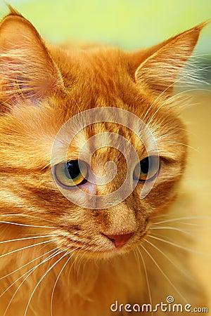 Bobtail red cat portrait