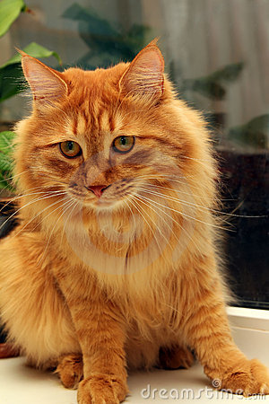 Bobtail red cat on window