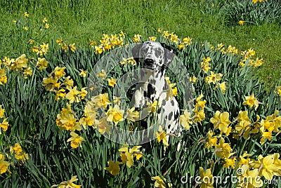 Bodhi the dalmation in spring daffodils