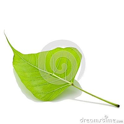 Free Bodhi Leaf Stock Images - 22927554