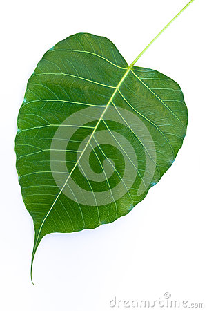 The Bodhi leaf