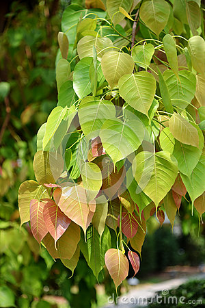 Free Bodhi Leaf From The Bodhi Tree Royalty Free Stock Image - 92441816