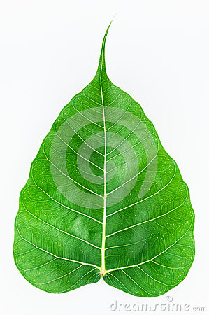 Bodhi leaf isolated